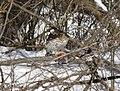 Cooper's hawk feeding on a blue jay 10.jpg