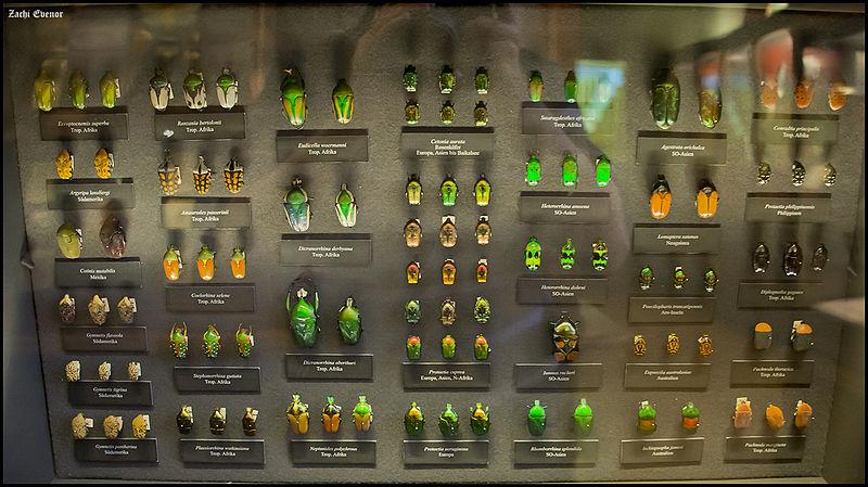File:Copper Beetles (15652941876).jpg