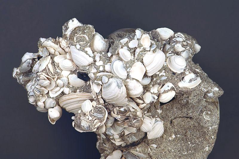 File:Coquinoid quartzose sandstone (Anastasia Formation, Upper Pleistocene to lower Holocene, 126 to 8 ka; Indrio Pit, northern side of the town of Fort Pierce, southeastern Florida, USA) (15207209416).jpg