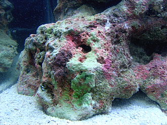 Live rock - Mature live rock in a marine aquarium, well encrusted with a variety of coralline algae