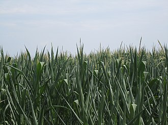 Culpeper County, Virginia - Cornfields east of Culpeper