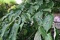 Cornus florida 19zz.jpg