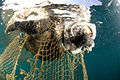 Corpse of a sea turtle, drowned in a fishing net.jpg