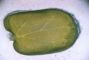 Cotyledon - Cotyledon from a Judas-tree (Cercis siliquastrum) seedling