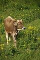 Cow (Bos primigenius) near Saint Gallen, Switzerland - 20070610.jpg
