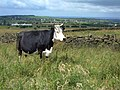 Cow on the Crompton Circuit - geograph.org.uk - 487807.jpg