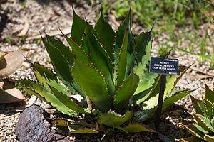 Agave bovicornuta - Image: Cowhorn Agave