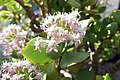 Crassula arborescens subsp. undulatifolia-Jardin botanique de Berlin (3).jpg