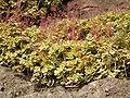 Crassula multicava (Barlovento) 03 ies.jpg