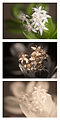 Crassula ovata (Money tree) Vis UV IR comparison.jpg
