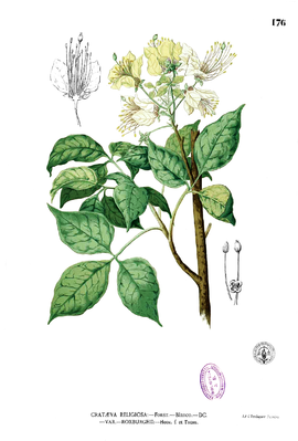 Illustration von Crateva religiosa