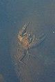 Crayfish (Astacoidea) - Thunder Bay, Ontario 01.jpg