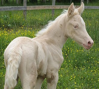Lethal white syndrome - This blue-eyed, pink-skinned, whitish filly is, in fact, a cremello, and is healthy. Her skin is a rosier shade and her coat cream-colored, as opposed to stark white.