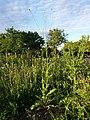 Crepis pulchra sl3.jpg