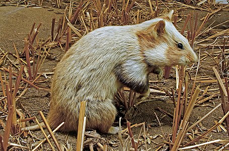 A European Hamster, Cricetus cricetus