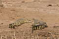 Crocodiles - Queen Elizabeth National Park, Uganda.jpg
