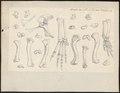 Crocodilus spec. - skeletdelen - 1700-1880 - Print - Iconographia Zoologica - Special Collections University of Amsterdam - UBA01 IZ12200054.tif