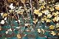 Cronartium ribicola Ribes inoculum (01).jpg