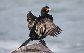 Crowned Cormorant, Phalacrocorax coronatus.jpg