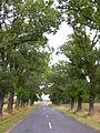 Csáfordjánosfa 150 éves kőrisfa sor a faluba vezető úton.jpg