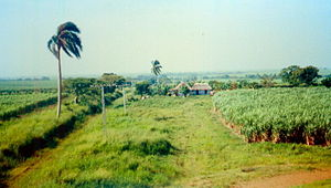 Agriculture in Cuba - A sugarcane plantation in rural Cuba