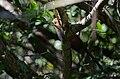 Cuclillo Canela, Squirrel Cuckoo, Piaya cayana (11915582974).jpg