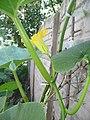 """Cucurbita maxima """"zapallo plomo"""" (Costanzi temp2) flor masculina M04 antesis vista lateral orientación pétalos margen pecíolo nerviación tricomas.JPG"""