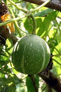 <i>Cucurbita okeechobeensis</i> species of plant