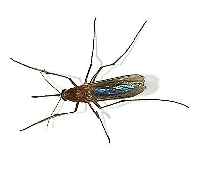Комар обыкновенный (Culex pipiens)