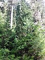 Cupressus nootkatensis, Coal Lake, Washington.jpg