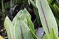 Curcuma zedoaria 9zz.jpg