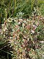 Cuscuta epithymum sl8.jpg