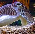 Cuttlefishhead.jpg