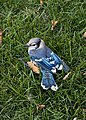 Cyanocitta cristata in my yard 2.jpg
