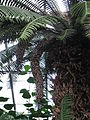 Cycad flowering in Allan Gardens 2009.jpg