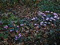 Cyclamen coum clump02.jpg