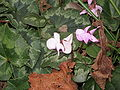 Cyclamen coum mixed02.jpg