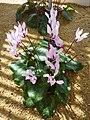 Cyclamen persicum (Myrsinaceae) plant 2.jpg