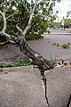 Cyclone Marcus in Darwin – Uprooted tree through concrete 02.jpg