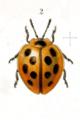 Cyclotoma cingalensis.png