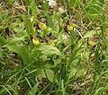 Cypripedium calceolus plants.jpg