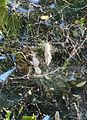 Cyrtophora citricola cocoons - Ilex 20140812.jpg