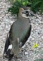 Czajka (Vanellus vanellus).JPG