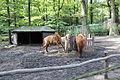 Děčín, zoologická zahrada, huculští koně, výběh (3).jpg
