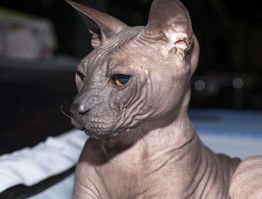 Don Sphynx – Der Pharao unter den Katzen