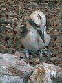 Dacelo novaeguineae Tiergarten Worms 2011.JPG