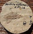 Daclera naturalis N. THEOBALD Holotype.jpg