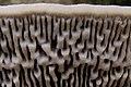 Daedaleopsis.confragosa3.-.lindsey.jpg