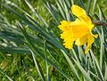 Daffodil (6867358590).jpg