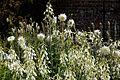 Dahlia and summer hyacinth in Walled Garden of Goodnestone Park Kent England.jpg